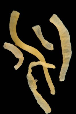 Picture of acorn worms (Saccoglossus kowalevskii) at Pure Aquariums from the Gulf Specimen Marine Lab.