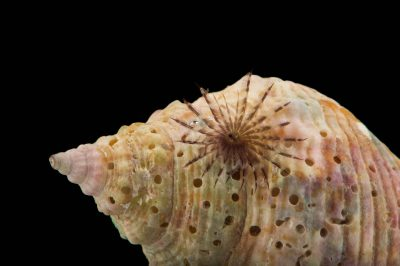 Picture of a feather duster worm (Sabella melanostigma) at Pure Aquariums from the Gulf Specimen Marine Lab.