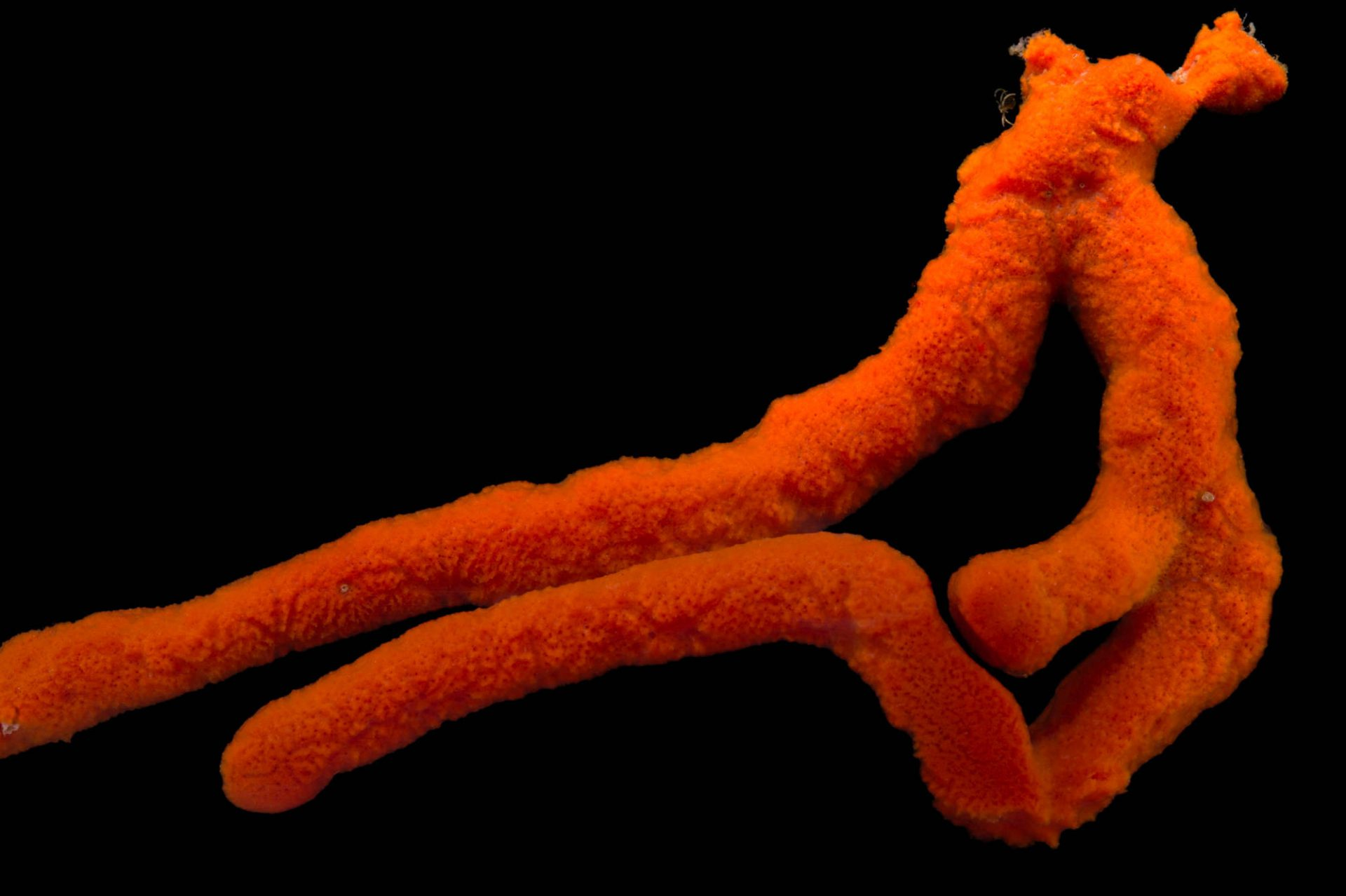 Picture of a red devil's finger sponge, Axinella, at Pure Aquariums from the Gulf Specimen Marine Lab.