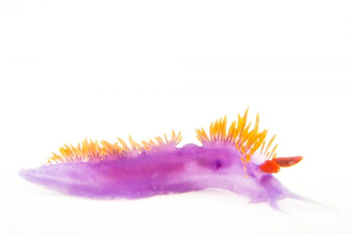 Picture of a Spanish shawl nudibranch (Flabellina iodinea) at the REEF, at the University of California, Santa Barbara.