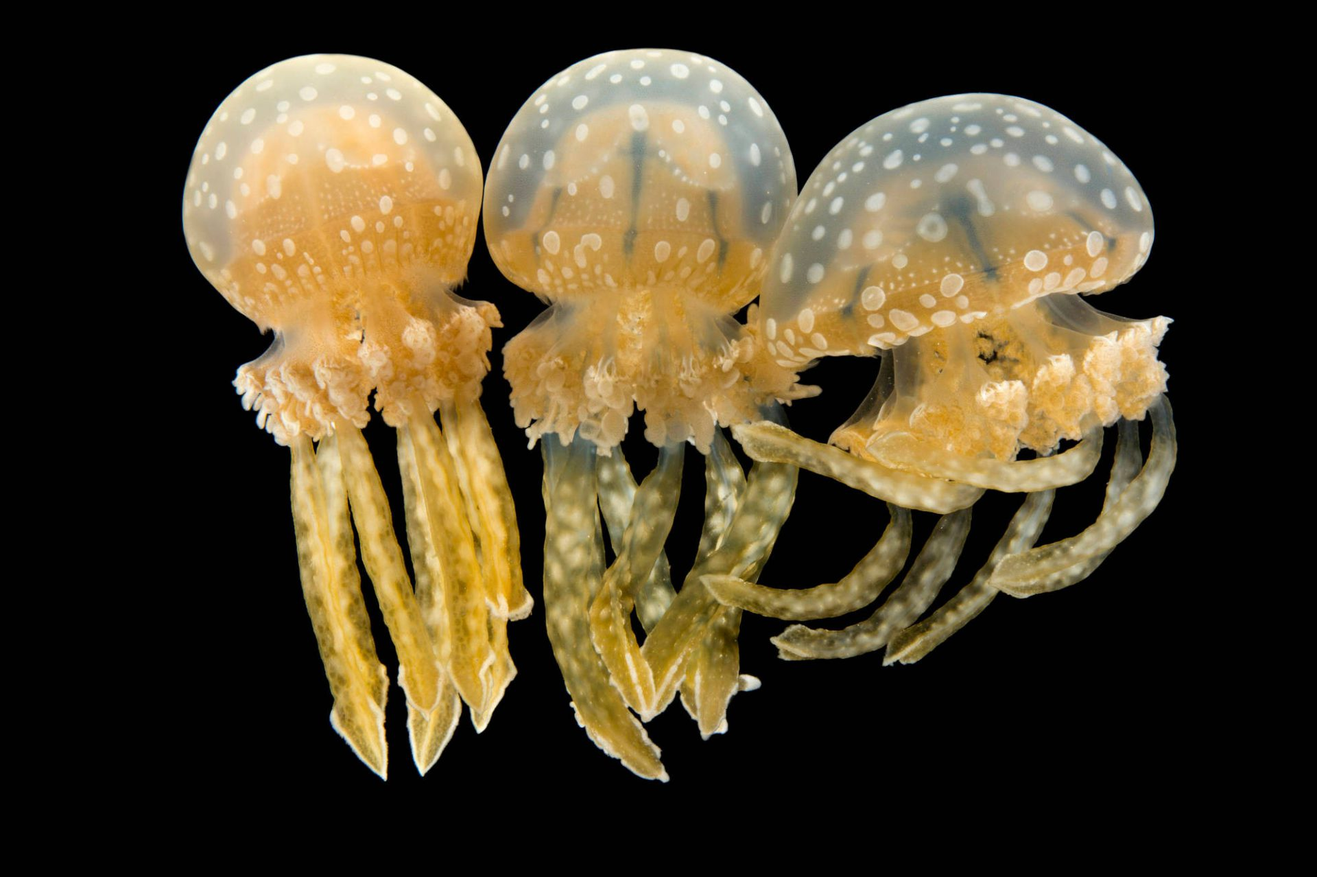 Picture of Spotted jellyfish (Mastigias papua) at the Monterey Bay Aquarium.