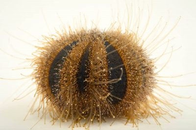 Photo: Blue tuxedo urchin (Mespilia globulus ) at the Loveland Living Planet Aquarium.