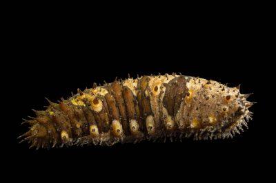 Photo: Sea cucumber (Holothuroidea) at the Loveland Living Planet Aquarium.