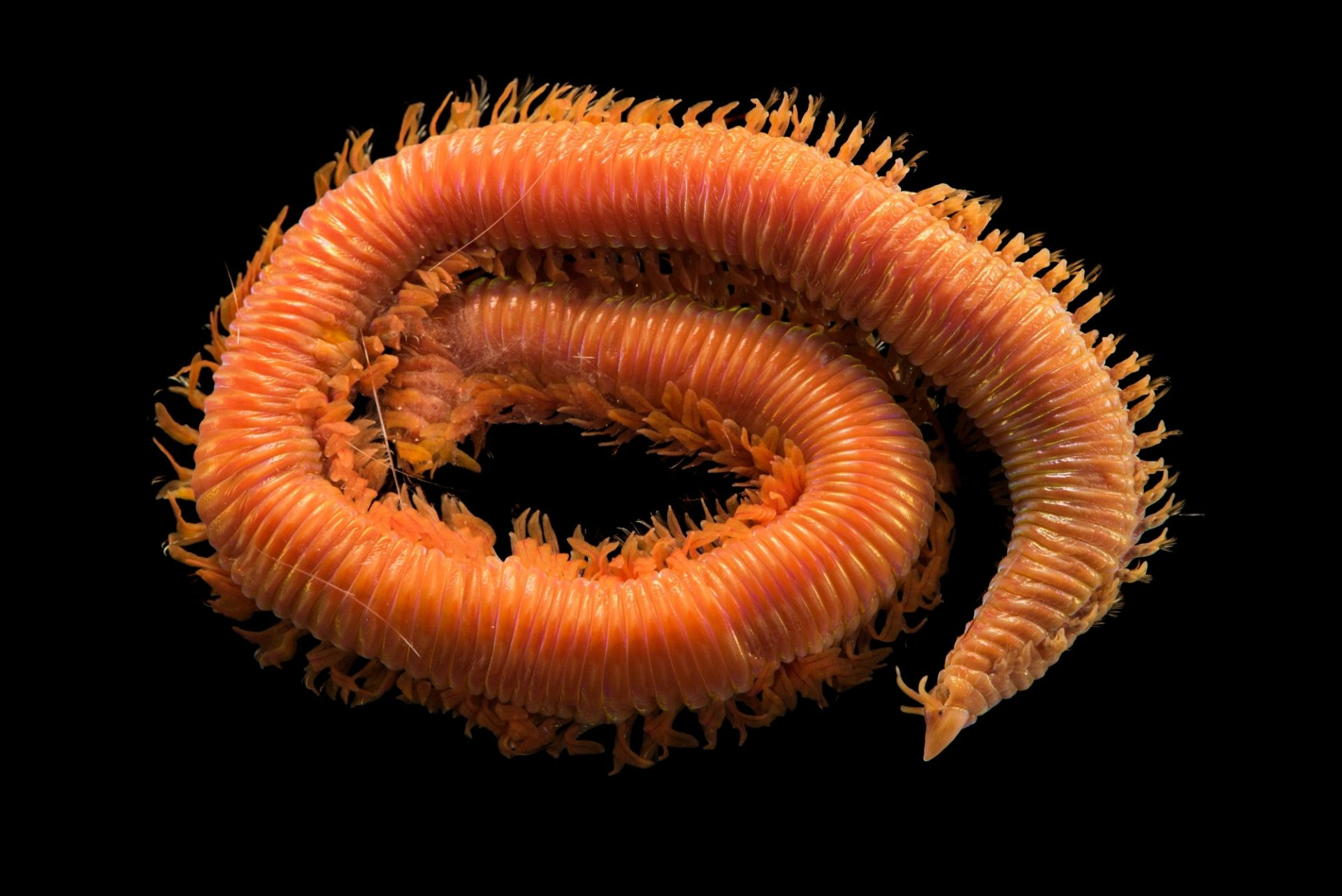 Photo: Crab trap worm (Lysarete brasiliensis) from Gulf Specimen Marine Laboratories.