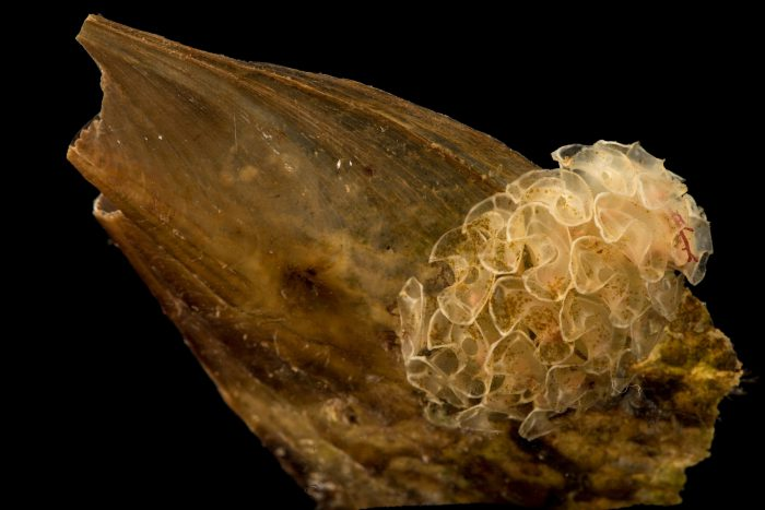Photo: Tulip shell (Fasciolaria tulipa), with eggs from Gulf Specimen Marine Laboratories.