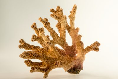 Photo: Robust ivory tree coral (Oculina robusta) from Gulf Specimen Marine Laboratories.