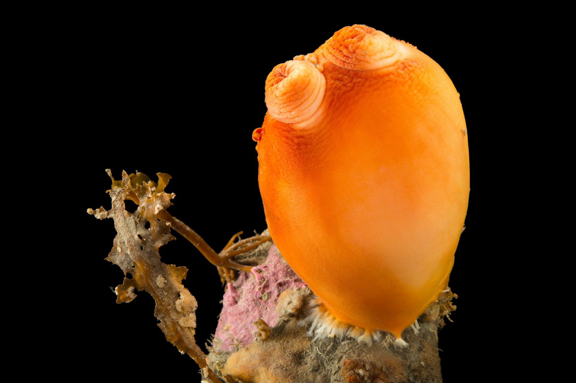 Sea peach, (Halocynthia aurantium), at the Alaska SeaLife Center.
