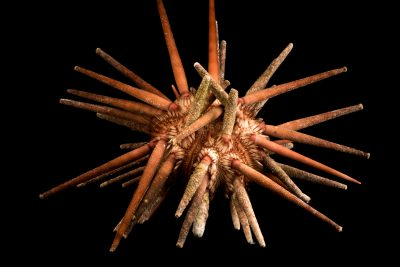 Photo: Slate pencil urchin (Eucidaris thouarsii) at Aquarium of the Pacific in Long Beach, CA.