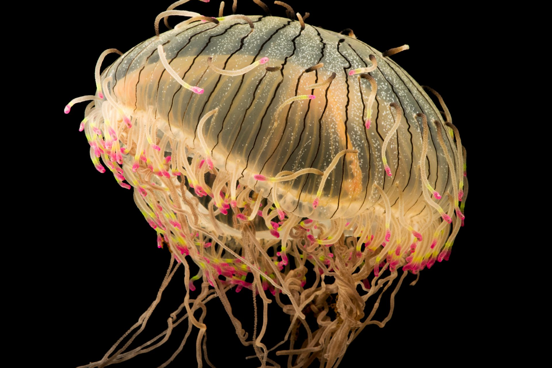 Photo: Flowerhat sea jelly (Olindias formosa) at Aquarium of the Pacific in Long Beach, CA.