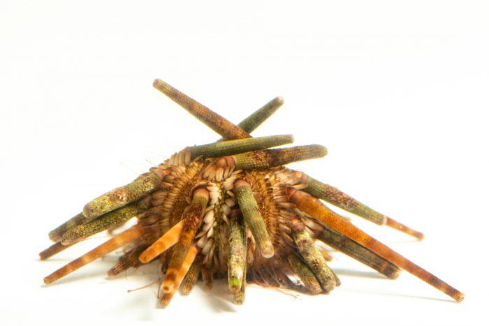 Photo: A red slate pencil urchin (Heterocentrotus mamillatus) at the Oklahoma City Zoo.