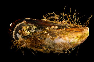Photo: California Mussel (Mytilus californianus) at the University of California, Davis.
