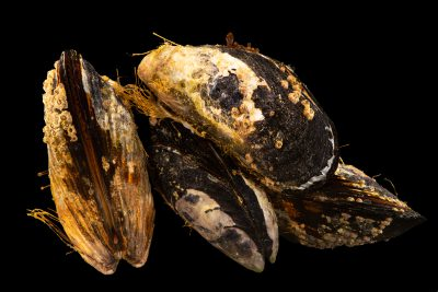 Photo: California Mussel (Mytilus californianus) at the University of California, Davis.
