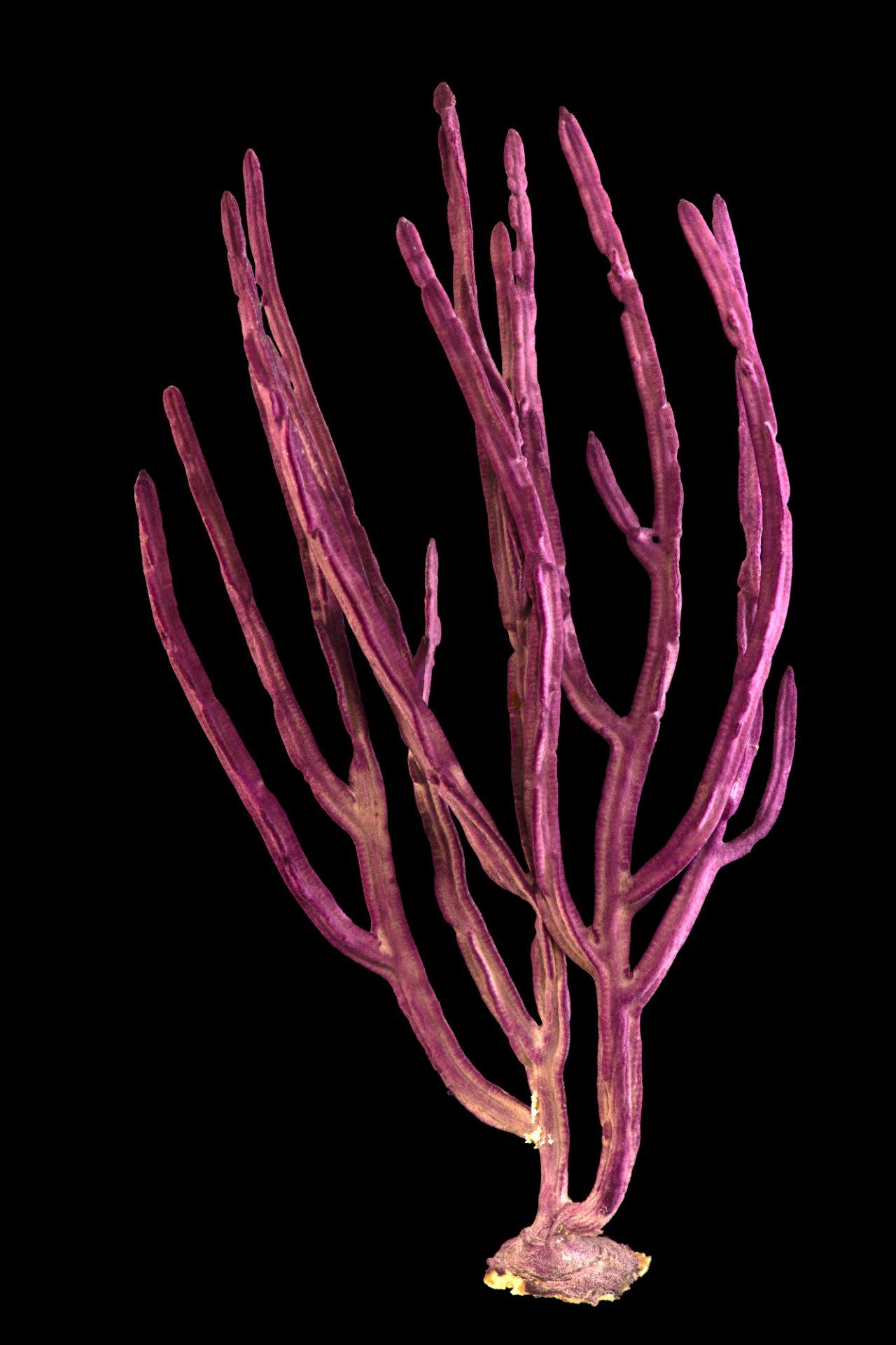 Photo: Purple ribbon gorgonian (Gorgonia sp.) at Butterfly Pavilion.
