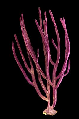 Photo: Purple ribbon gorgonian (Gorgonia sp.) at Butterfly Pavilion.