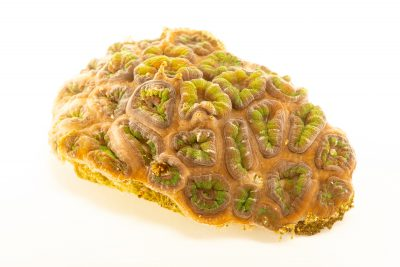 Photo: Lordhowensis acan coral (Micromussa lordhowensis) at Butterfly Pavilion.