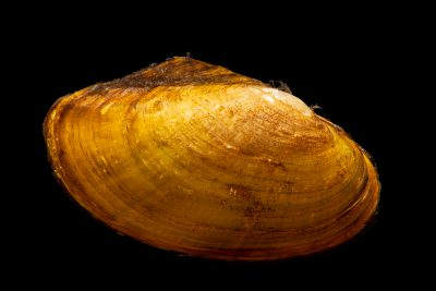 Photo: Shell of a dead freshwater mussel (Anodonta sp.) at Fluviário in Mora, Portugal.