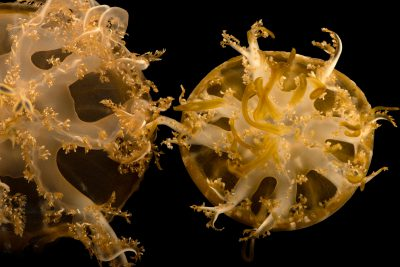 Photo: Inverted jellyfish (Cassiopea xamachana) at Loro Parque's aquarium in Puerto de la Cruz, Tenerife, Spain