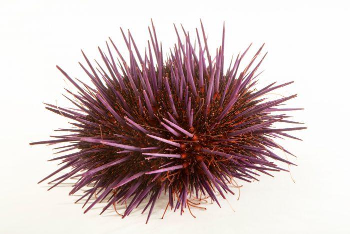 Photo: Common Sea Urchin (Heliocidaris erythrogramma) at Melbourne Zoo.