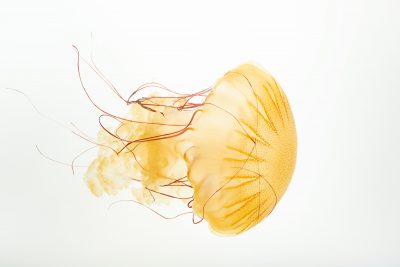 Photo: South American sea nettle (Chysoara plocamia) at the Omaha Zoo.
