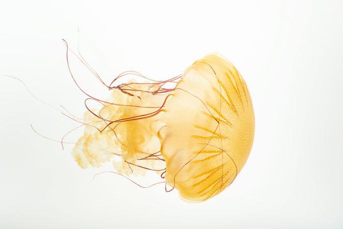 Photo: South American sea nettle (Chysoara plocamia) at the Omaha Zoo.