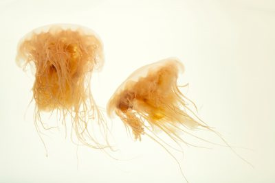 Photo: Lion's mane jellyfish (Cyanea capillata) at the Omaha Zoo.