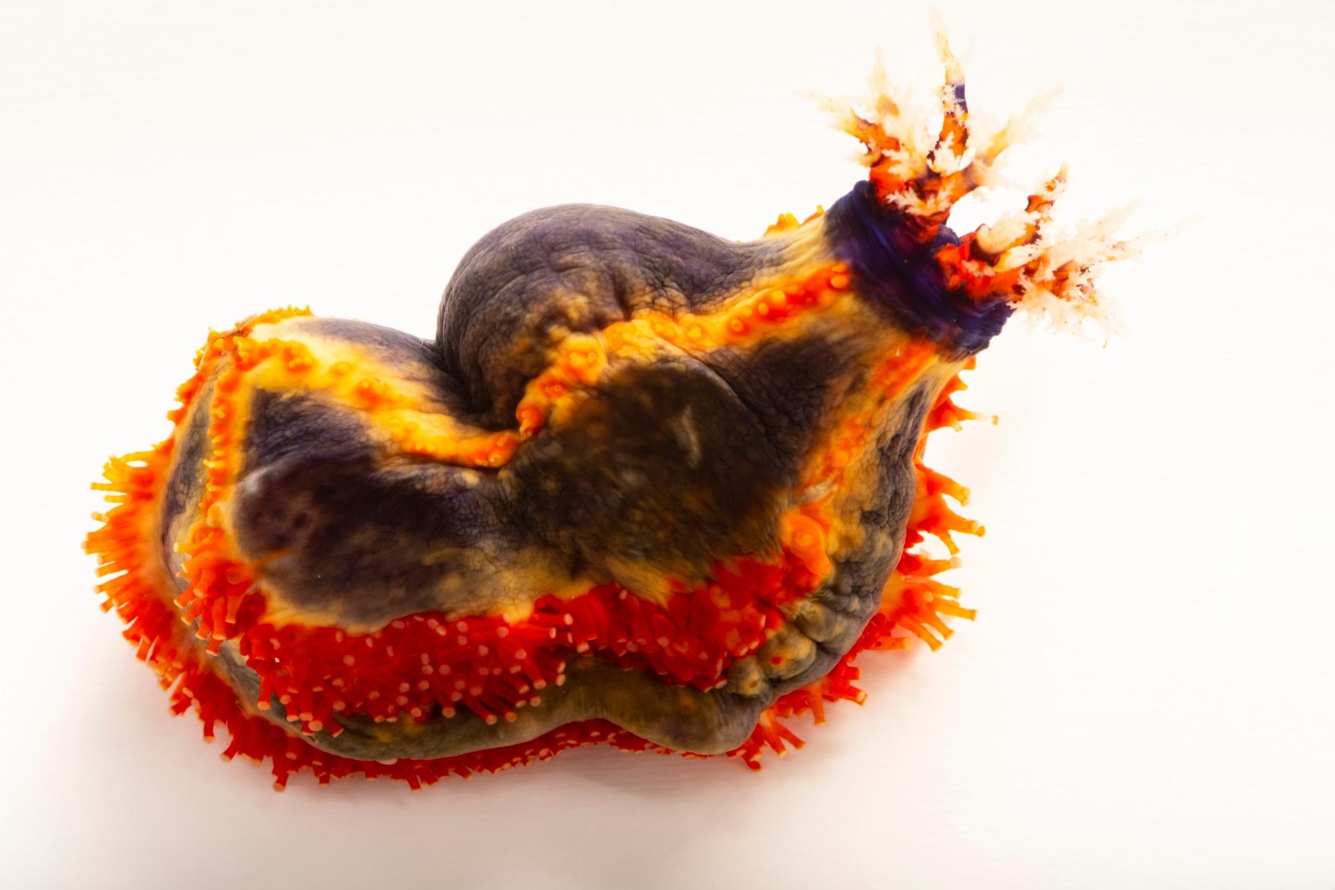 Photo: An Australian sea apple (Pseudocolochirus axiologus) at the Dallas World Aquarium.