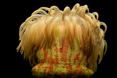 Photo: Painted anemone (Tealia crassicornis) at the Toronto Zoo.
