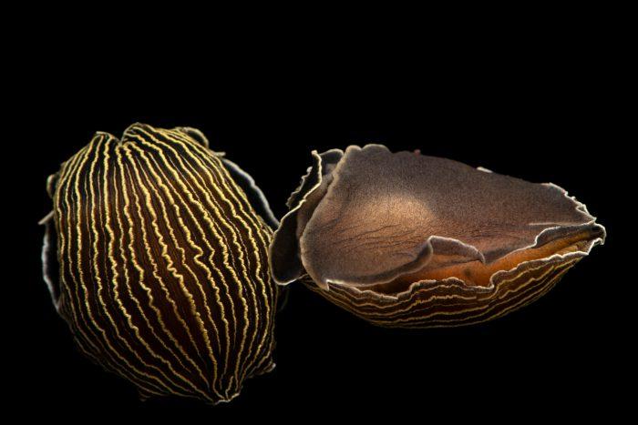 Photo: Tiger nudibranch (Armina tigrina) at Gulf Specimen Marine Lab.