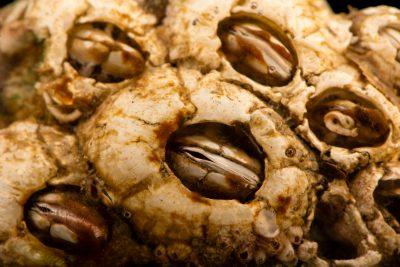 Photo: Turtle barnacles (Chelonibia testudinaria) at Gulf Specimen Marine Lab.