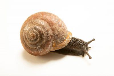 Photo: White lip globe snail (Mesodon thyroidus) from the side of a house in Milford, Kansas.