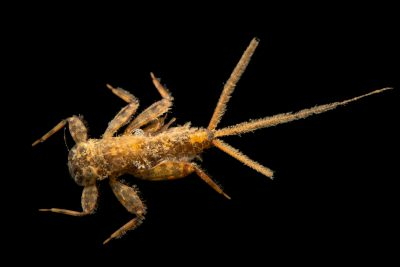 Photo: Aquatic invertebrate from Geary County, Kansas.
