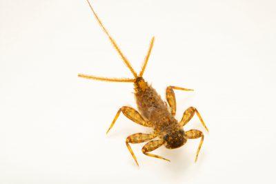 Photo: Aquatic invertebrate from Geary County, Kansas.
