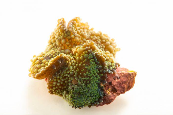 Photo: A florida false coral (Ricordea florida) at the Auburn University Natural History Museum.