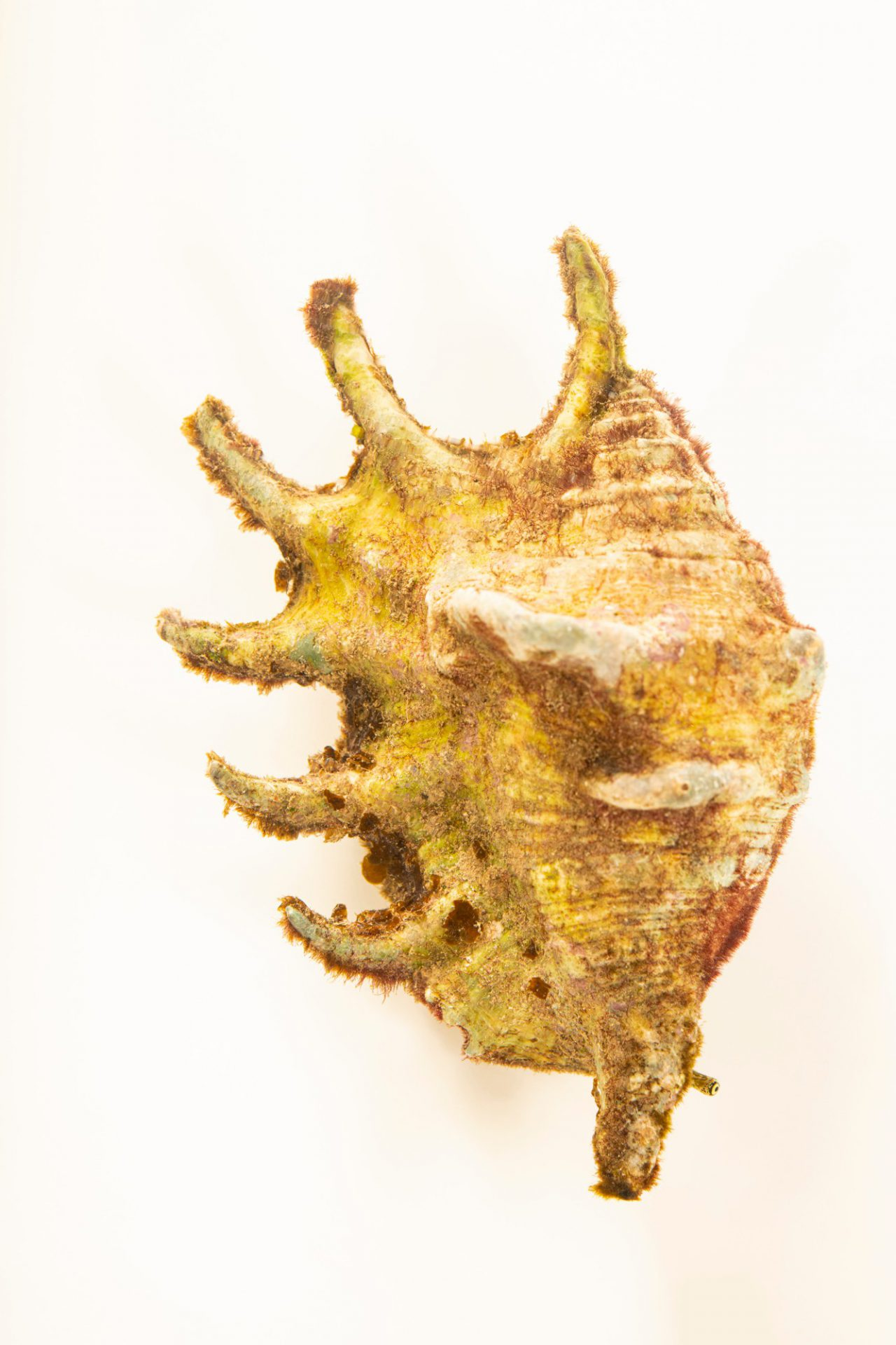 Photo: A spider conch (Lambis scorpius) at Semirara Marine Hatchery Laboratory in the Philippines.