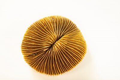 Photo: A mushroom coral (Fungia fungites) at Semirara Marine Hatchery Laboratory in the Philippines.