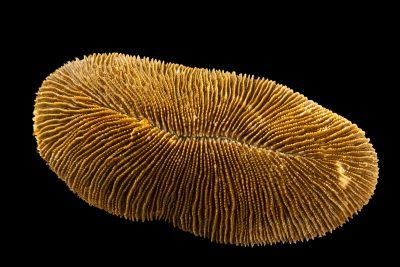 Photo: A mushroom coral (Ctenactis echinata) at Semirara Marine Hatchery Laboratory in the Philippines