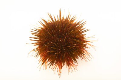 Photo: A sea urchin (Paracentrotus lividus) at the Littoral Station of Aguda in Portugal.