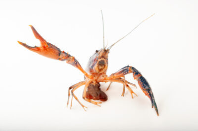 Photo: Blue color phase of the red swamp crayfish (Procambarus clarkii) at the Insectarium in New Orleans.