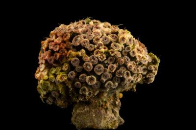 Photo: A big polyp blastomussa coral (Blastomussa wellsi) at the Akron Zoo.