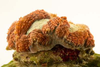Photo: An unidentified symphyllia brain coral (Symphyllia sp.) at the Akron Zoo.