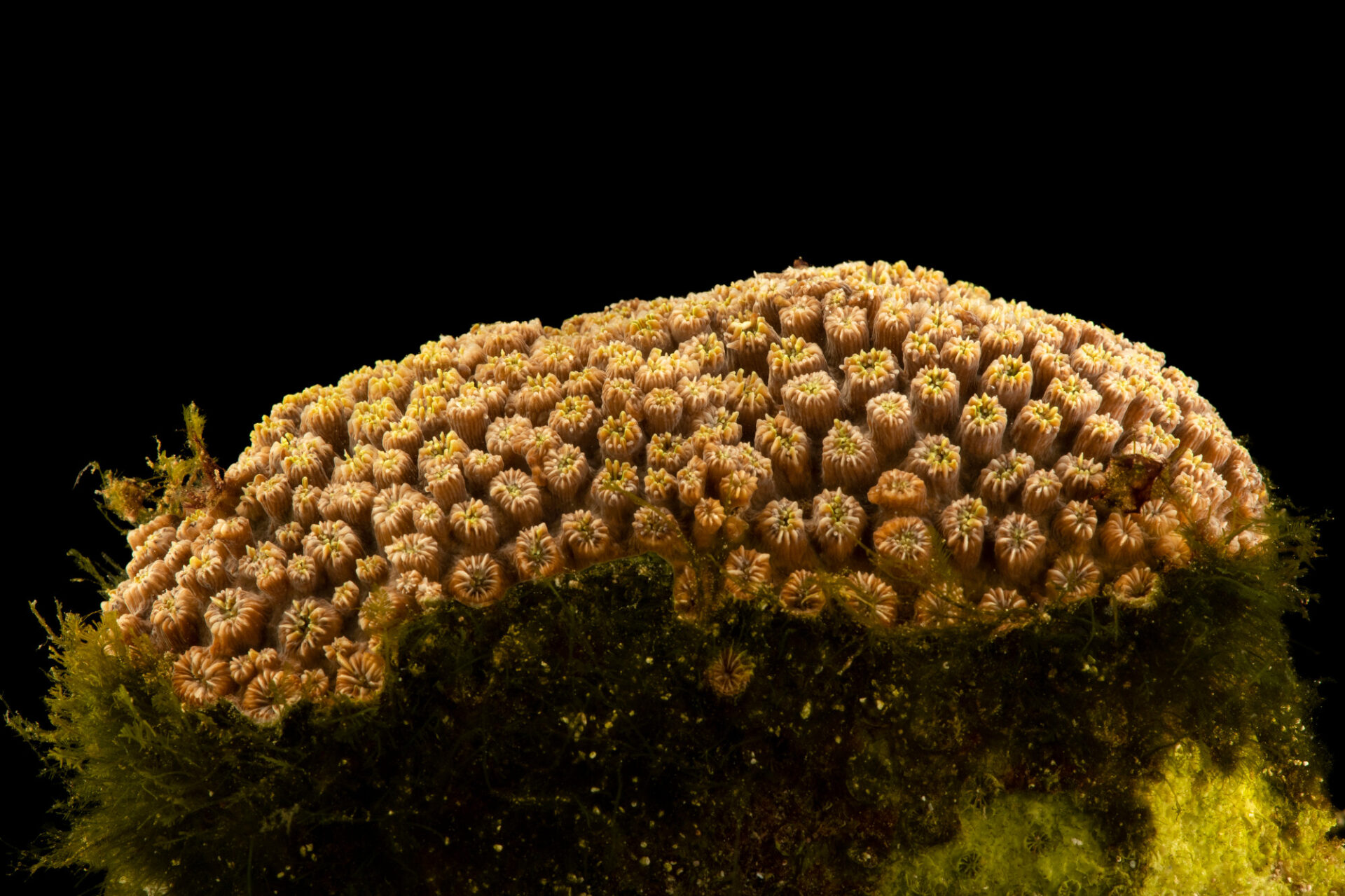 Photo: An unidentified tooth coral (Galaxea sp.) at the Akron Zoo.