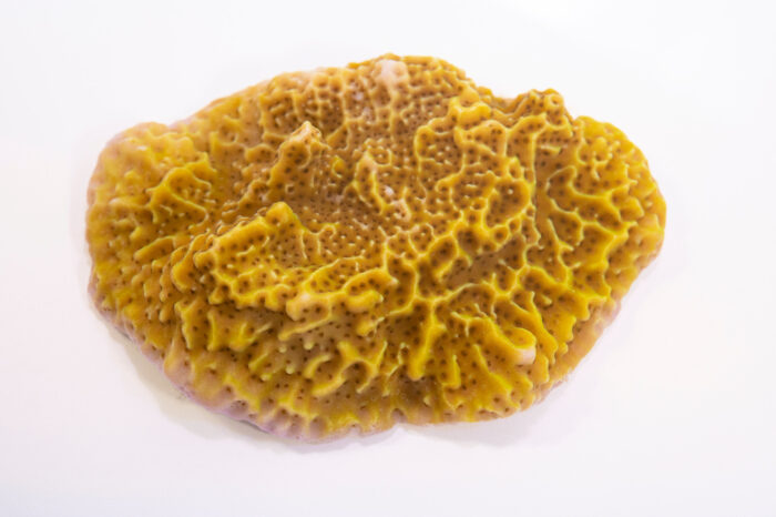 Photo: A spongodes coral (Montipora spongodes) at the Akron Zoo.