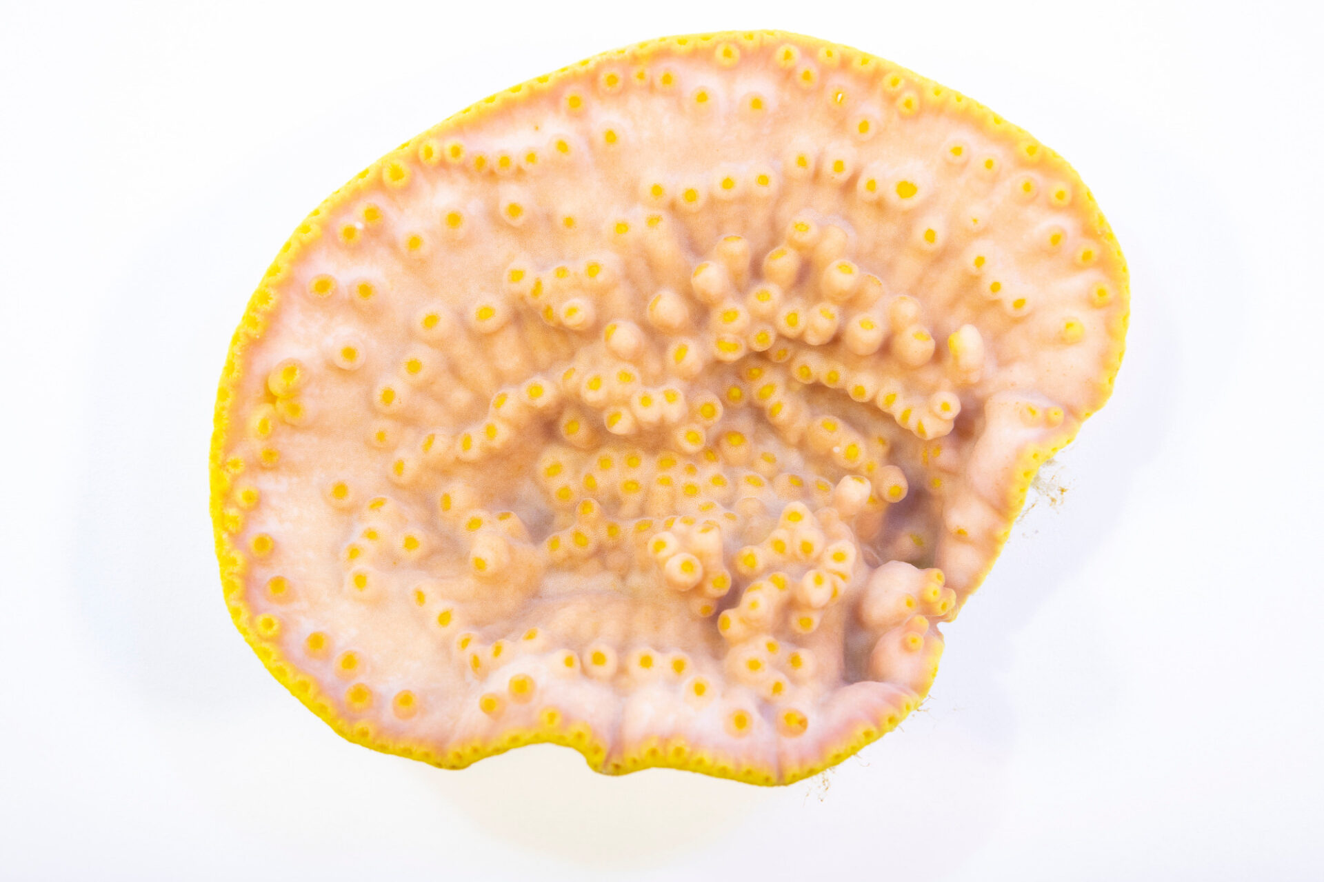 Photo: A yellow scroll coral (Turbinaria reinformous) at the Akron Zoo. This species is listed as vulnerable by IUCN.