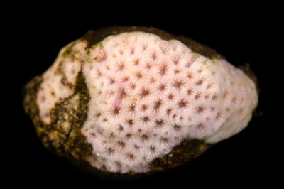 Photo: An unidentified starlet coral (Siderastrea sp.) at the Akron Zoo.