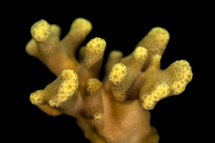 Photo: A hump coral (Porites cylindrica) at the Akron Zoo.
