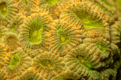 Photo: An unidentified pot of gold coral (Favia sp.) at the Akron Zoo.