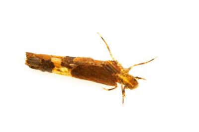 Photo: An unidentified case-building caddisfly larvae in the family Limnephilidae, aquatic invertebrate from Mores Creek near Idaho City, Idaho.