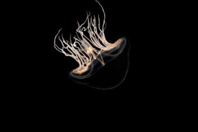 Photo: A jellyfish (Tima formosa) at Aquarium Berlin.