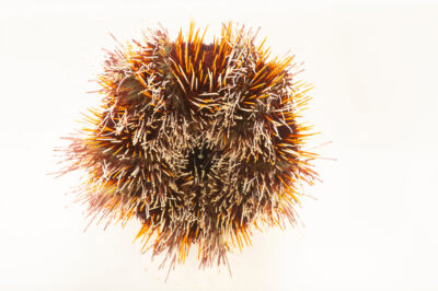 Photo: A Pfaffenhut sea urchin (Tripneustes gratilla) at Aquarium Berlin.