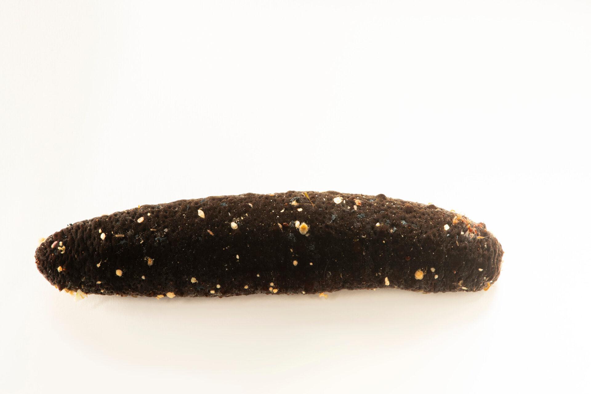 Photo: A tubewater cucumber (Holothuria tubulosa) at Aquarium Berlin.